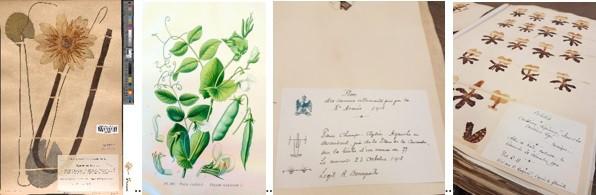 Planche de Nymphea de l'herbier Bonaparte : une plante sèche fixée à l'aide de bandelettes sur un papier d'attache et portant une étiquette indiquant au minimum date et lieu de récolte, sans laquelle le spécimen perd sa valeur scientifique. On trouve de nombreuses planches illustrées à l'intérieur de l'herbier Bonaparte en début de chemise d'espèces, comme cette planche sur le petit-pois. Étiquette d'une planche d'herbier de graminée récoltée en 1918 par Roland aux Champs-Elysées « sur la bêche d'un canon de 77 ». Planche d'herbier réalisée à partir d'orchidées présentes dans une corbeille de Noël et récoltées par Roland le 30 décembre 1900.