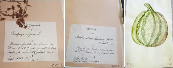 Étiquette de planche d'herbier montrant une récolte réalisée par Roland Bonaparte lui-même au cours d'une randonnée en montagne en 1906. Étiquette de planche d'herbier montrant une plante rapportée de chez un fleuriste de Paris par la Princesse Jeanne de Villeneuve en 1904. Elle était la nièce de Roland, fille de sa sœur Jeanne Bonaparte, marquise de Villeneuve-Esclapon, et de Christian de Villeneuve. Aquarelle de Roland Bonaparte sur une planche d'herbier de courge.
